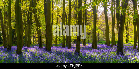 The sun illuminates a carpet of blue and purple bluebells deep in woodland in Oxfordshire just after a prolonged - Stock Photo