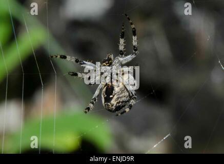 A huge garden spider weaving its web in Rettenbachtal near Blaa.Alm, Altaussee - Stock Photo