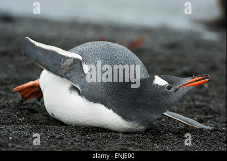 Gentoo Penguin (Pygoscelis papua), lying on its chest, Prion Island, South Georgia - Stock Photo