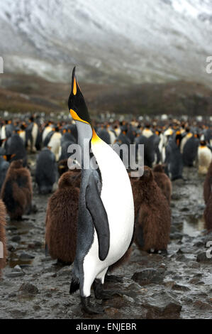 A male King penguin (Aptenodytes patagonicus), calls out with a mating call amongst a large King Penguin colony, - Stock Photo