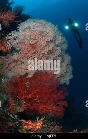 Sea fans illuminated by diver with twin lights, Raja Ampat, Indonesia - Stock Photo
