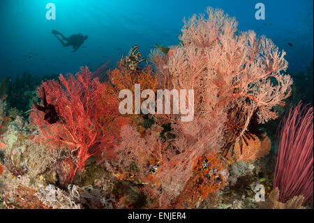 Gorgonian sea fans on a reef in Raja Ampat, West Papua, Indonesia. Diver in background - Stock Photo