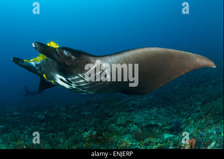 The reef manta ray, Manta alfredi, with yellow pilot fish in front of its mouth, Dampier Strait, Raja Ampat, West - Stock Photo