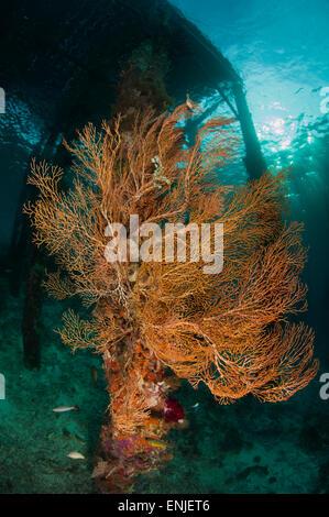 Gorgonian sea fan attached to a leg under Arborek Jetty, Dampier Strait, Raja Ampat, Indonesia - Stock Photo