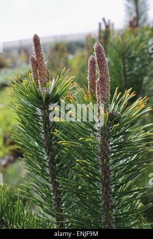 Pinus Mugo Mountain Pine - Stock Photo