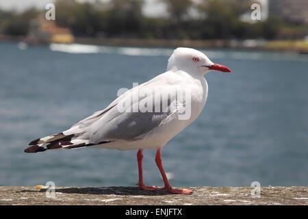 Silver Gull (Chroicocephalus novaehollandiae) in the harbour of Sydney, Australia. - Stock Photo