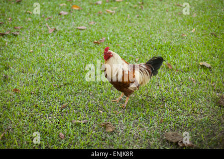 happy free chicken in the garden - Stock Photo