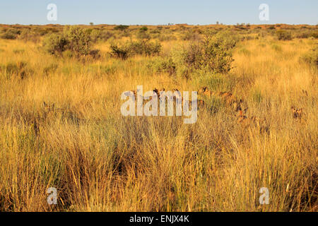 African Wild Dogs (Lycaon pictus), pack, adult, hunting in the high grass, Tswalu Game Reserve, Kalahari Desert, - Stock Photo