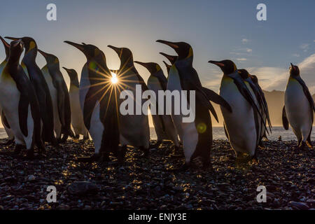 King penguins (Aptenodytes patagonicus) at sunrise, in St. Andrews Bay, South Georgia, Polar Regions - Stock Photo