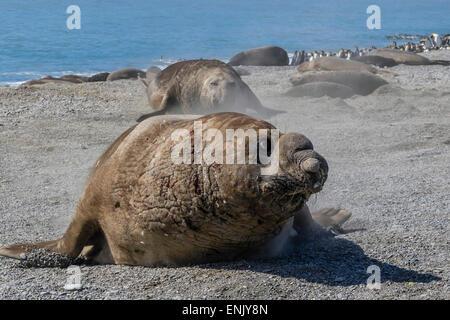 Charging southern elephant seal bull (Mirounga leonina), St. Andrews Bay, South Georgia, Polar Regions - Stock Photo