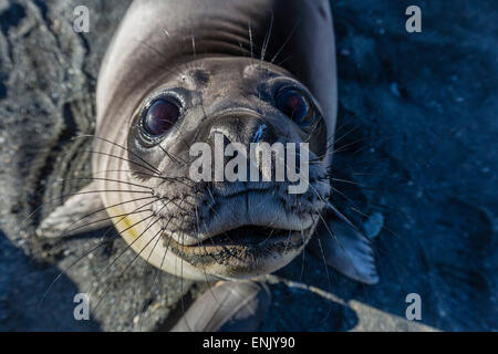 Curious southern elephant seal pup (Mirounga leonina), Gold Harbor, South Georgia, Polar Regions - Stock Photo