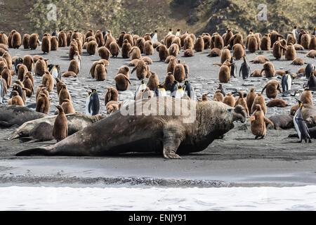Southern elephant seal bulls (Mirounga leonina) charging on the beach in Gold Harbor, South Georgia, Polar Regions - Stock Photo