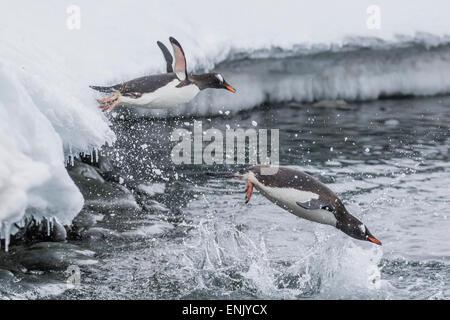 Gentoo penguins (Pygoscelis papua) leaping into the sea at Booth Island, Antarctica, Polar Regions - Stock Photo