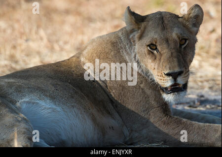 Lioness (Panthera leo), Khwai Concession, Okavango Delta, Botswana, Africa - Stock Photo