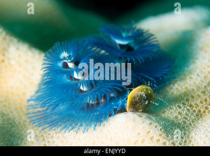 Blue Christmas tree worm (Spirobranchus giganteus), Cairns, Queensland, Australia, Pacific - Stock Photo