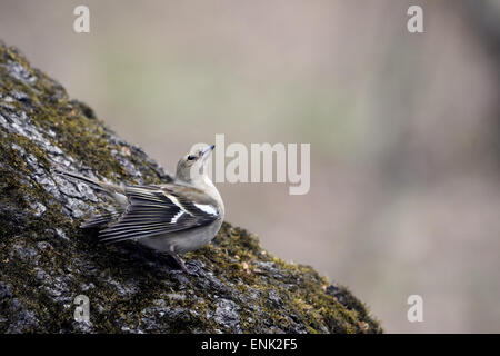 Female Chaffinch Appeals for Male in Moscow park, Russia - Stock Photo