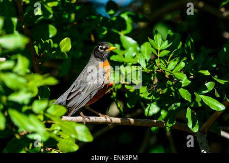 american robin, turdus migratorius, viera, florida - Stock Photo