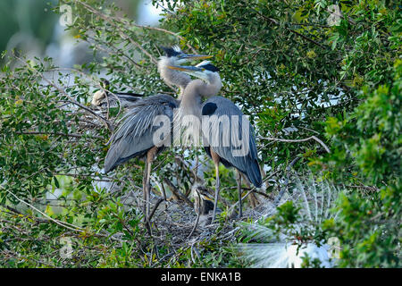 great blue heron, ardea herodias, venice, florida - Stock Photo
