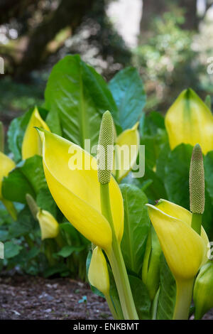 Lysichiton americanus. Yellow skunk cabbage in an Scottish woodland in spring. Scotland Stock Photo