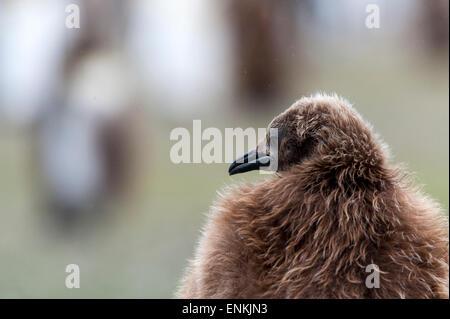 King penguin chick (Aptenodytes patagonicus) Salisbury Plain South Georgia - Stock Photo