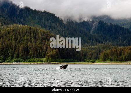 Humpback Whales blowing and diving in Icy Strait. Glacier Bay National Park adn Preserve. Chichagof Island. Juneau. - Stock Photo