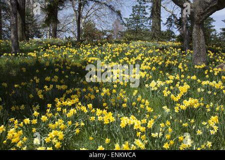 Daffodil hill, Brooklyn Botanic Garden, Brooklyn, NY Stock Photo ...