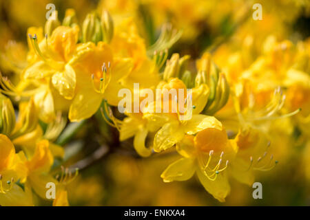 Yellow azalea Rhododendron luteum flowers close up fragrant - Stock Photo