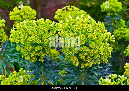 Euphorbia perennial evergreen flowering plant in a garden. - Stock Photo