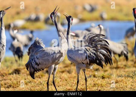 eurasian crane at hornborgasjön - Stock Photo