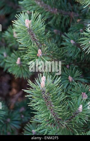 Pinus Mugo Humpy - Swiss Dwarf Mountain Pine. - Stock Photo