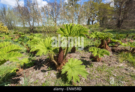 Gunnera (giant rhubarb) leaves in springtime growing in the gardens of Great Dixter, made famous by Christopher - Stock Photo