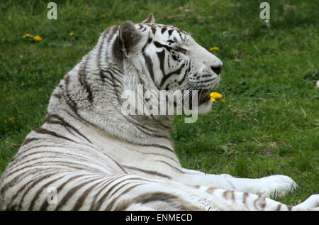 Female White Bengal tiger (Panthera tigris tigris) lying in the grass - Stock Photo