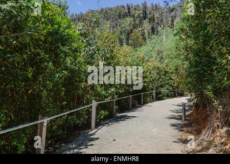 Walking trail to Steavenson Falls near Marysville showing regrowth in surrounding forest after devastating bushfires - Stock Photo