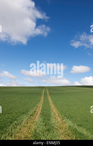 Tractor tracks on a green wheat field in the English Countryside - Stock Photo