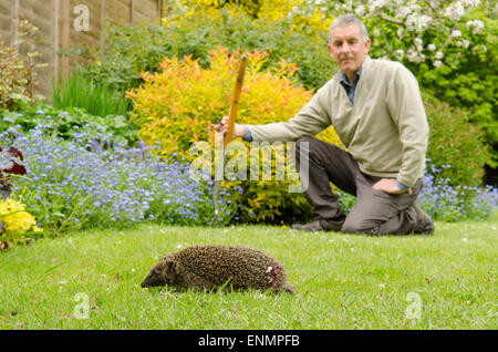 Gardener watching a hedgehog, Erinaceus europaeus,walking across a lawn in a garden. Sussex, UK. May. - Stock Photo