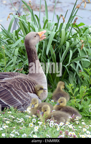 London, UK. 8th May, 2015. UK Weather: Canada Goose gosling under the wing. Credit:  JOHNNY ARMSTEAD/Alamy Live - Stock Photo