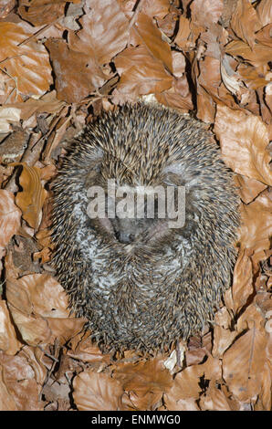 Hedgehog, Erinaceus europaeus, rolled up in a ball for protection. On Beech leaves. Sussex, UK. May. - Stock Photo