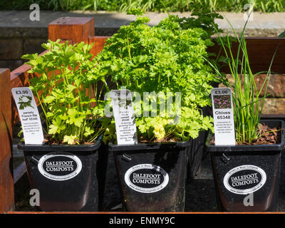 herbs parsley and chives grown in yorkshire in wool compost for sale to gardeners in a