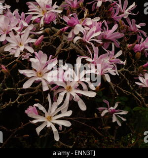 Magnolia × loebneri 'Leonard Messel' - Stock Photo