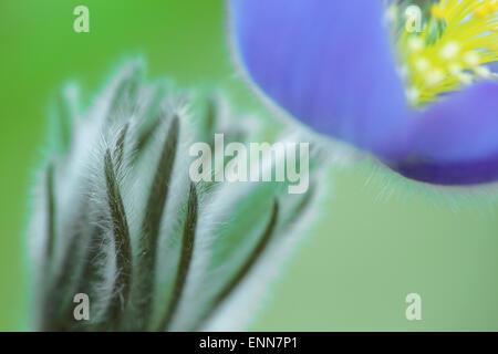 Pulsatilla vulgaris, pasque flower, pasqueflower, common pasque flower - Stock Photo