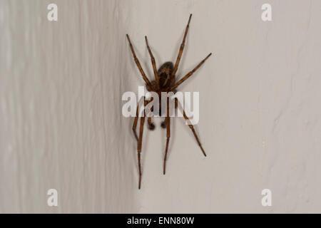 Lace weaver spider, House spider, male, Fensterspinne, Finsterspinne, Kellerspinne, Männchen, Amaurobius similis - Stock Photo