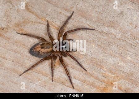Lace weaver spider, House spider, female, Fensterspinne, Finsterspinne, Kellerspinne, Weibchen, Amaurobius similis - Stock Photo