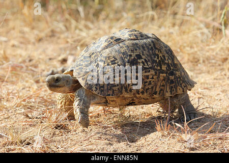 Leopard Tortoise on the move - Stock Photo