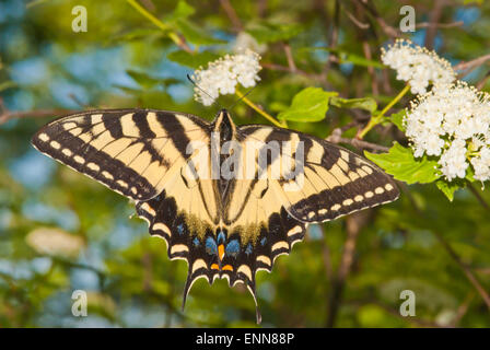 Eastern tiger swallowtail butterfly, Papilio glaucus, clinging to a bush in Frontenac Provincial Park, Ontario - Stock Photo