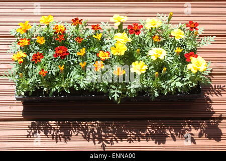 Marigold flowering plants in black container - Stock Photo