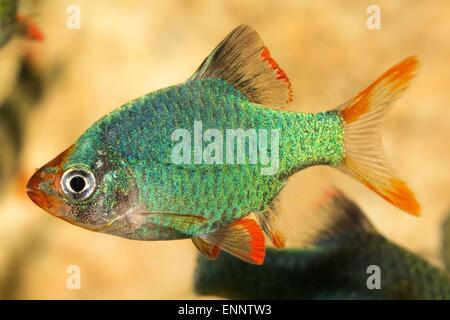 Tropical freshwater aquarium fish from genus Puntius. - Stock Photo