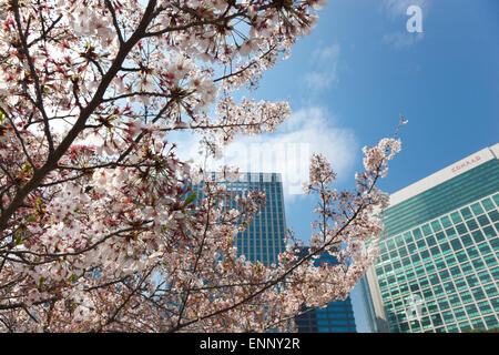Close up of a cherry blossom tree in Hamarikyu Gardens with Shiodome district skyscrapers in the background - Stock Photo