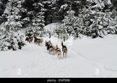 Dog sled running in winter wood. - Stock Photo