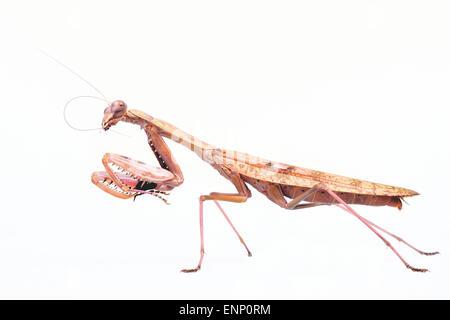 Large brown female praying mantis on a white background. - Stock Photo