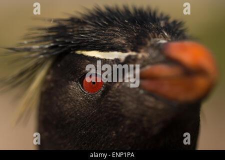 Close-up of Adult Southern rockhopper penguin Eudyptes chrysocome Falkland islands - Stock Photo